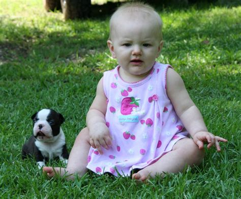 boston terrier puppies mn circle j s boston terriers breeder puppy for sale puppies show quality