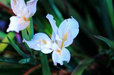 iris fiore iris bulbi come coltivare l iris