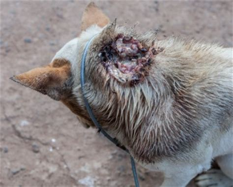 maggots in dogs maggot infestation in dogs vets help
