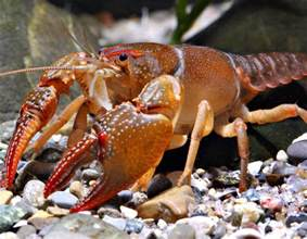 crawfish colors by season crayfish mdc discover nature