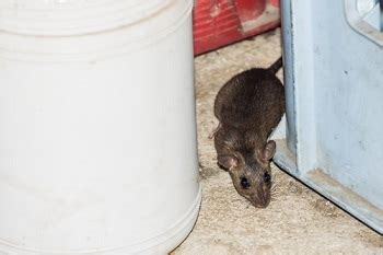 muizen in huis muizenbestrijding meldpunt ongedierte