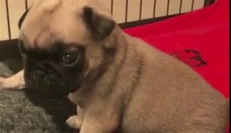 tiny pug puppies tiny pug puppies try to learn to bark