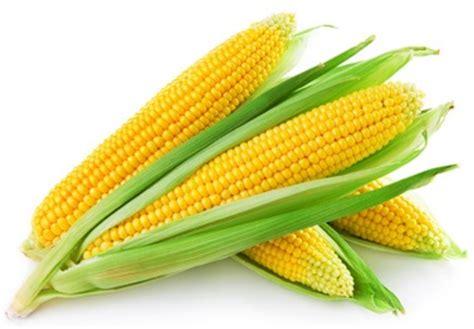 Benih Jagung Malaysia penanaman jagung manis myagri mymyagri my