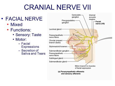 sensory motor and mixed nerves chapter 14 peripheral nervous system ppt
