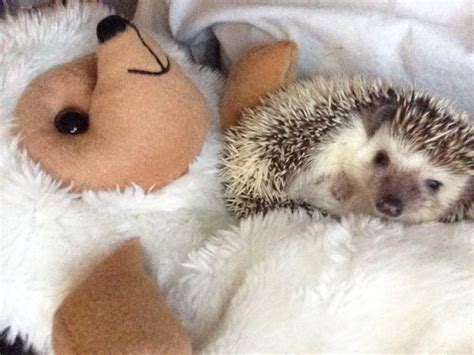 best bedding for hedgehogs 192 best i love hedgehogs images on pinterest