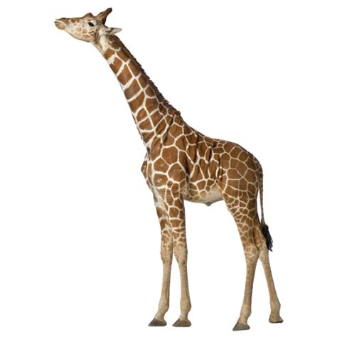 Wall Stickers For Girls Nursery buy removable wall stickers online real life giraffe