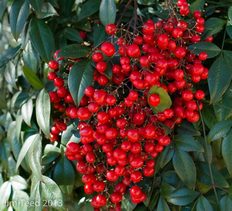 shrub with red berries and green leaves by jbordons on