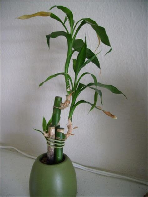 meaning  lucky bamboo numbers