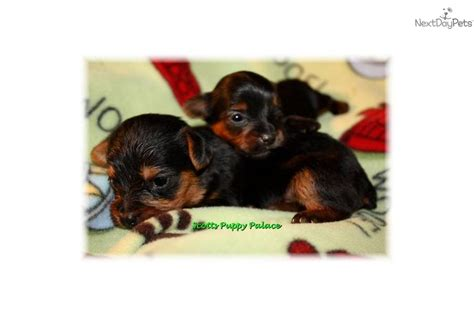 newborn teacup yorkies newborn teacup yorkie puppies now taking deposits terrier yorkie puppy