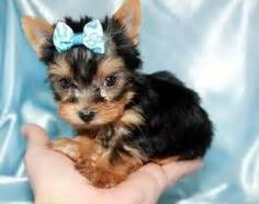 yorkie bows for sale 1000 images about tea cup puppies on teacup yorkie yorkie and tea cups