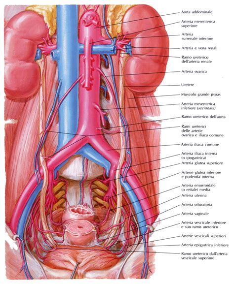 vasi renali vasi e nervi dell uretere medicinapertutti it