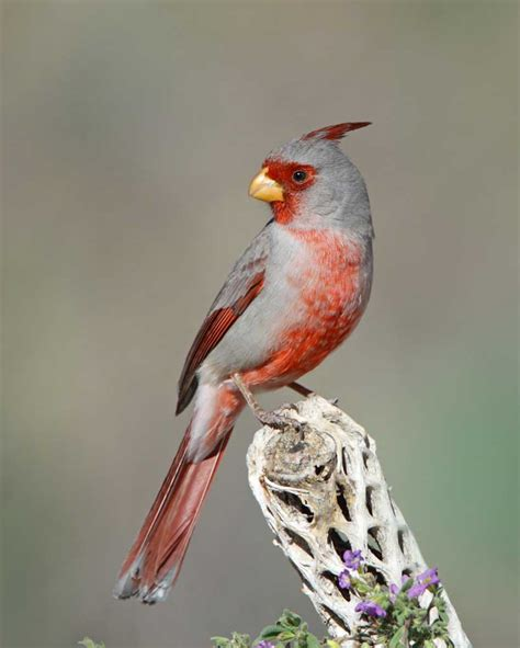 pyrrhuloxia audubon field guide