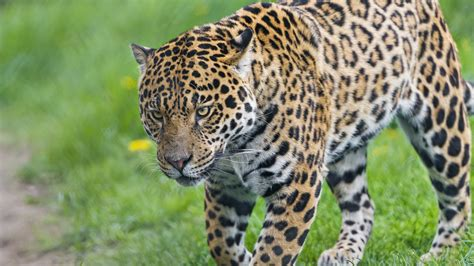 jaguar images hd leopard and jaguar animal jaguar animal wallpaper hd