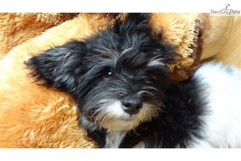 havanese for sale seattle havanese for sale for 1 250 near seattle tacoma washington 1eb8373f 3d21