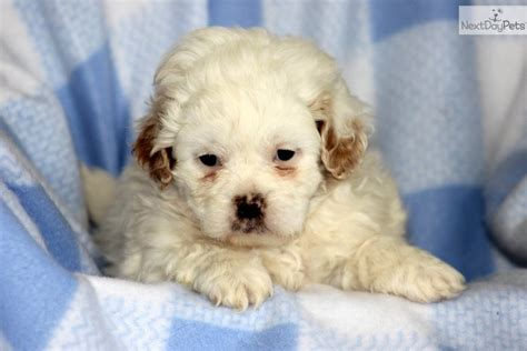 buy shih tzu near me where to buy a puppy near me pets world