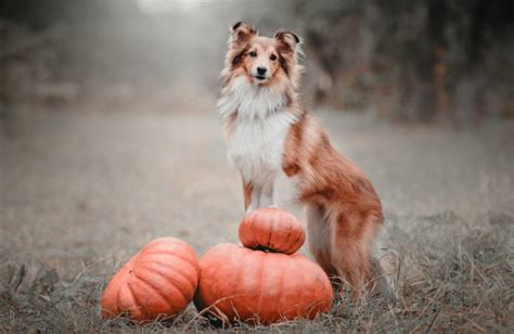 pumpkin for constipation 100 canned pumpkin for constipation constipation in dogs and how to treat