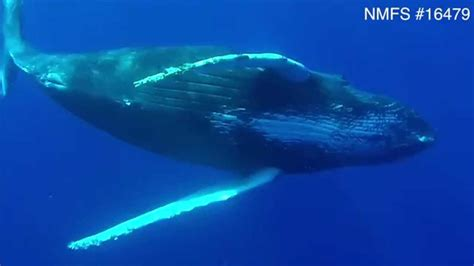 how big is a underwater footage of humpback whales reveals extrusion