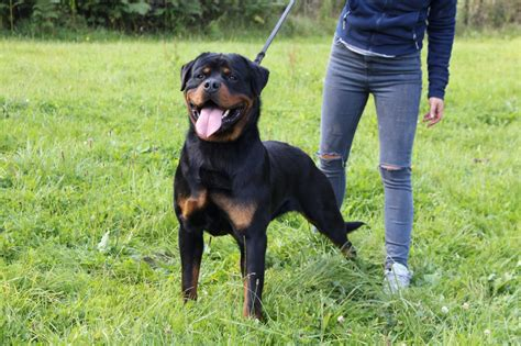 german rottweiler for sale top german rottweiler for sale nottingham nottinghamshire pets4homes