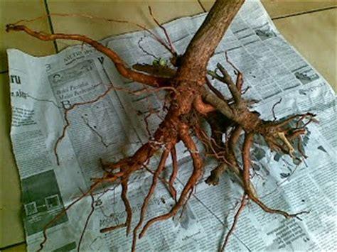 Pohon Zaitun Banyak Tumbuh ini dia khasiat akar mengkudu yang perlu anda ketahui