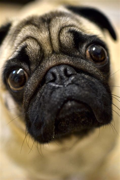 pug photography mopps biography