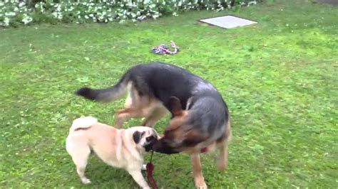 pug in german pug vs german shepherd 2