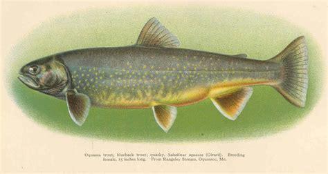 file fmib 38996 oquassa trout blueback trout quasky