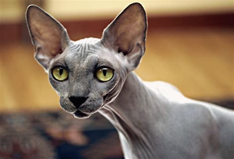 Cat Breeds That Dont Shed by List Of Cat Breeds That Don T Shed Pets World
