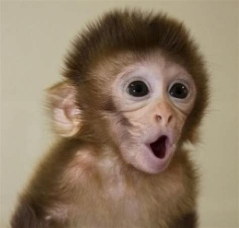 17 Best ideas about Cute Baby Monkey on Pinterest