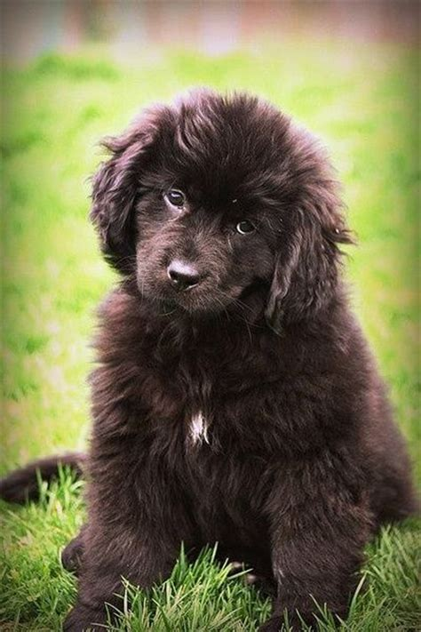 newfoundland puppy newfoundland puppy so fluffy and fuzzy puppies galore juxtapost