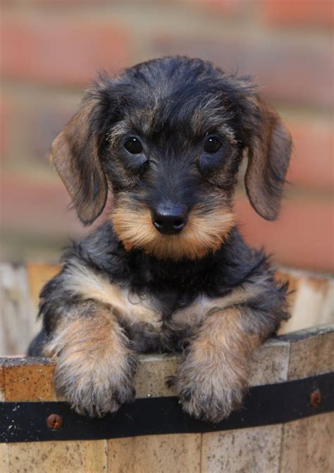 wire haired dachshund puppy fabulous mini wire haired dachshund puppies gainsborough lincolnshire pets4homes