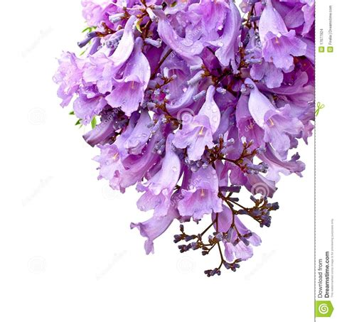 jacaranda flowers isolated stock photo image of isolated