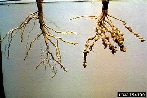 root knot nematode resistant vegetables southern root knot nematode meloidogyne incognita
