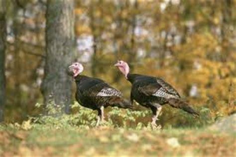 what do wild turkeys eat wild turkey food