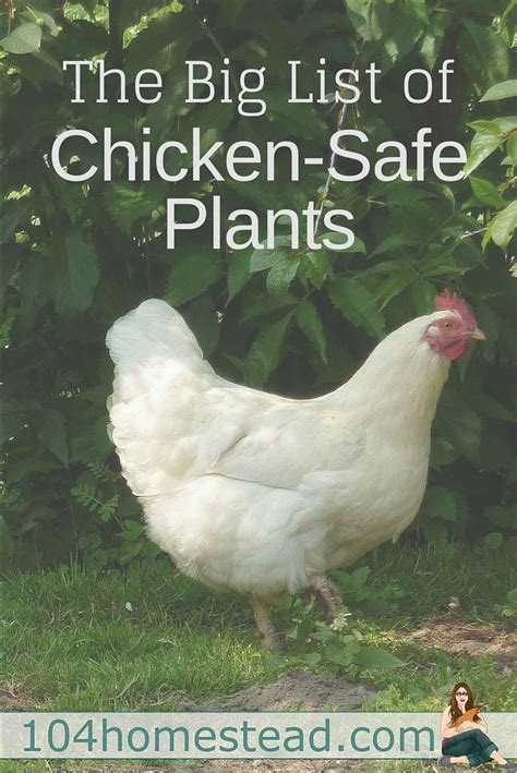 raising backyard chickens 435 best best of the 104 homestead images on
