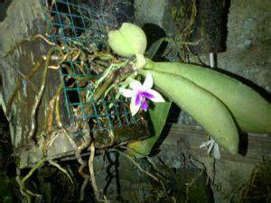 Pupuk Kalsium Cantik 13 cara menanam anggrek bulan dalam pot mudah