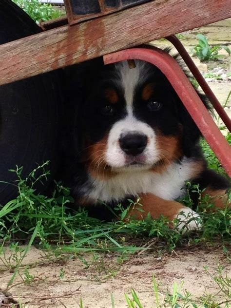 baby bernese mountain 1051 best images about bernese mountain dogs on mountain dogs snow and