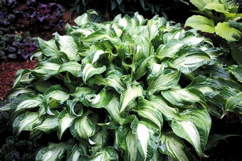hostas with white flowers 2017 2018 best cars reviews