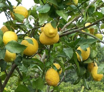 Jeruk Lemon Tanpa Biji 40 60cm tanaman buah jeruk lemon impor daftar update harga