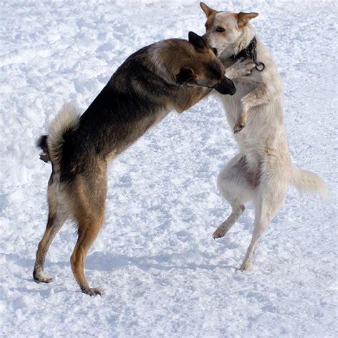 playful dogs pin playful on
