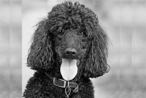 zwarte wandlen een neie hond