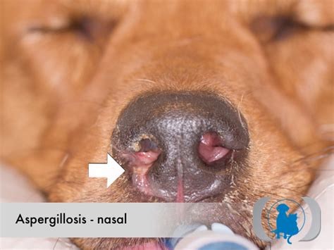 aspergillosis in dogs aspergillosis nasal advanced veterinary imaging