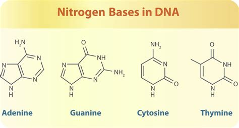All Systems Go For Tuesday Dna Reveal by Shows The Four Nitrogen Bases That Make Up The Dna Of All