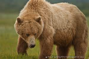 grizzly bears and hiking in alaska cantwell rv park