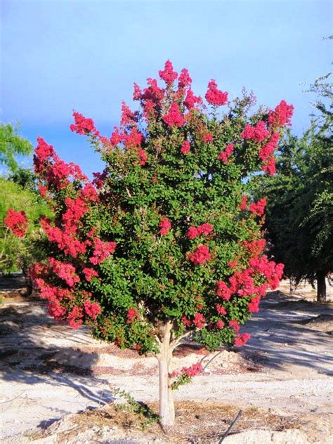 Xtremehorticulture Of The Desert Reviving Crepe Myrtle