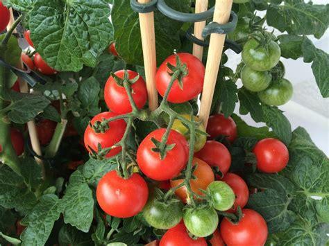 Tomaten Richtig D Ngen 4317 by Tomaten D 252 Ngen Darauf M 252 Ssen Sie Achten Garten Mix