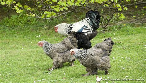 brahma chicken breed