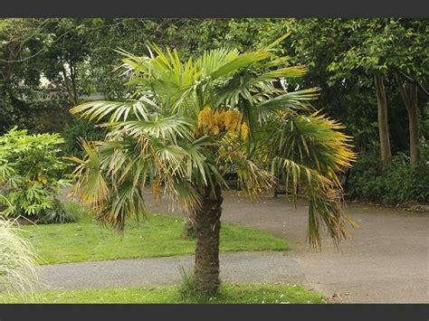 european mediterranean fan palm chamaerops humilis european or mediterranean fan palm
