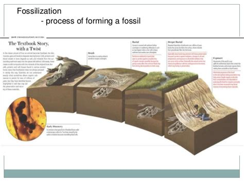 how fossils are formed diagram diagram of fossil formation images