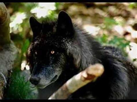 Lop Noir le loup noir