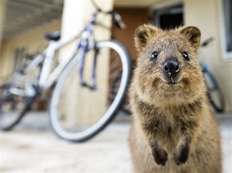 the big with happy animals the most and interesting book about animals we invite you to enjoy this fascinating story of animals who are time at the great animal in the forest books quokkas 20 pics of the happiest animal on the planet